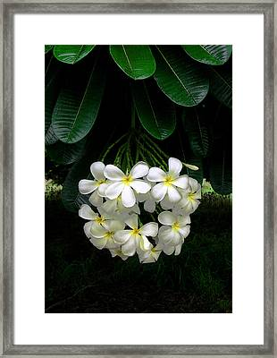 Kawela Plumeria Framed Print by James Temple