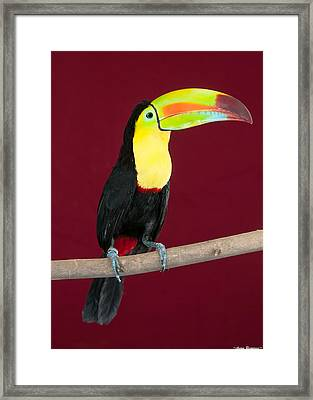 Framed Print featuring the photograph Keel-billed Toucan 4 by Avian Resources