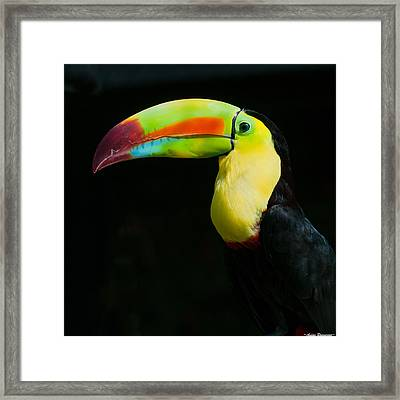 Keel-billed Toucan Framed Print by Avian Resources