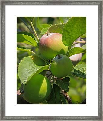 Kelowna Apples II Framed Print by Marie  Cardona