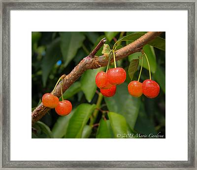 Kelowna Cherries Framed Print by Marie  Cardona