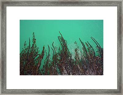 Kelp Off Of Pier At San Simeon State Framed Print by Peter Bennett