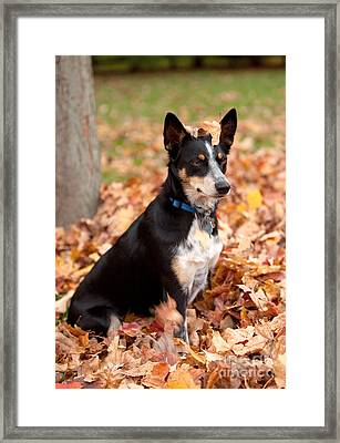Kelpie Australian Sheep Dog In Fall Framed Print by Iris Richardson