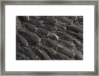Kemah Catfish Framed Print by Ray Devlin