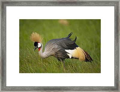 Kenya, Grey Crowned Crane In Ol Pejeta Framed Print by Ian Cumming