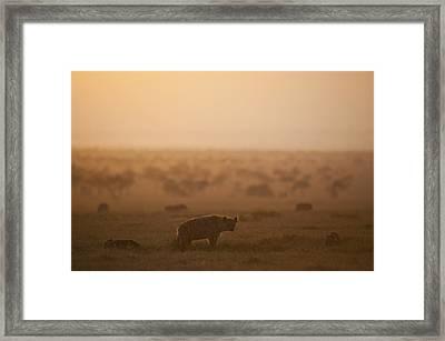 Kenya, Hyena With Cubs At Dawn In Ol Framed Print by Ian Cumming