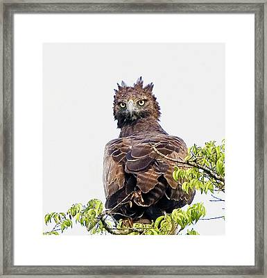 Kenya Martial Eagle Perched On Tree Framed Print