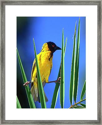 Kenya Masked Weaver Bird Grasps Leaves Framed Print by Jaynes Gallery