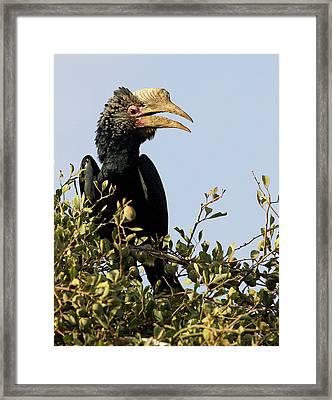 Kenya Silvery-cheeked Hornbill Bird Framed Print