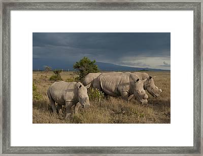 Kenya, Southern White Rhinos In Ol Framed Print by Ian Cumming