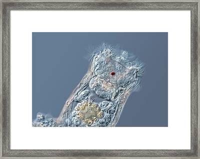 Keratella Rotifer Framed Print