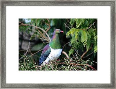 Kerehu - New Zealand Wood Pigeon Framed Print by Amanda Stadther
