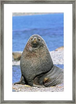 Kerguelen Fur Seal, Antarctic Fur Seal Framed Print