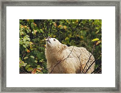 Kermode Bear Eating Crabapple Framed Print by M. Watson