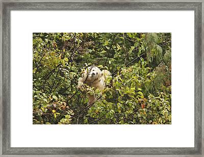 Kermode Or Spirit Bear In Tree Framed Print by M. Watson