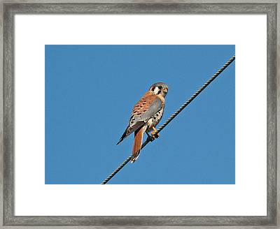Kessler Hawk  Framed Print