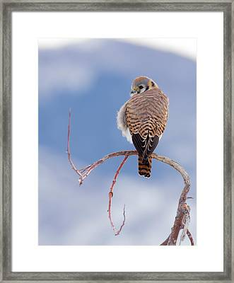Kestrel In The Cold Framed Print