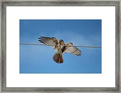 Kestrel Landing Framed Print
