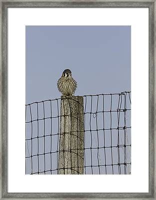 Kestrel On A Fence Pole Framed Print by Thomas Young