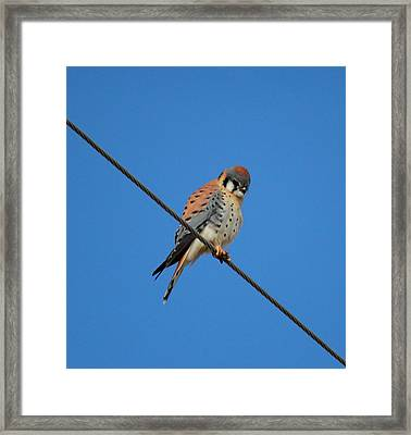 Kestrel On A Wire Framed Print