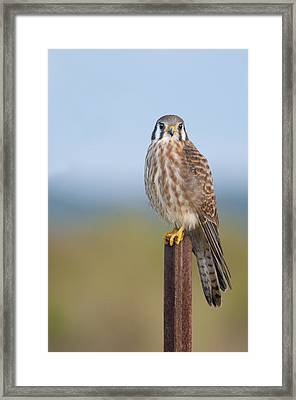 Kestrel On Metal Post Framed Print