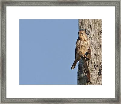 Framed Print featuring the photograph Kestrel by Paul Scoullar