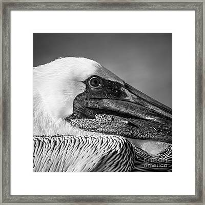 Key West Pelican Closeup - Square - Black And White Framed Print