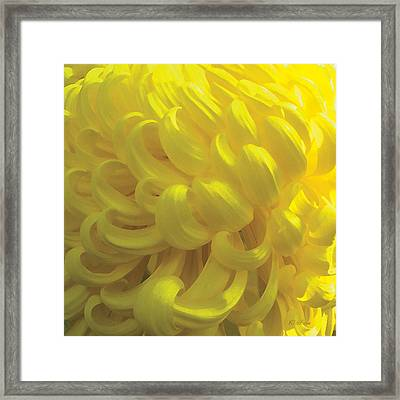 Framed Print featuring the photograph Kiku by David Klaboe