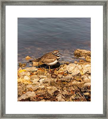 Kildeer On The Rocks Framed Print