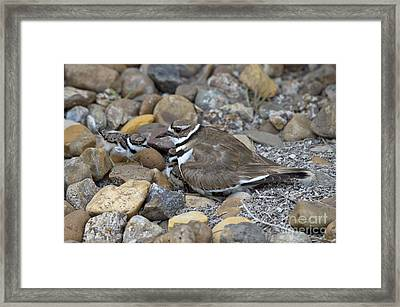 Killdeer And Young Framed Print by Anthony Mercieca