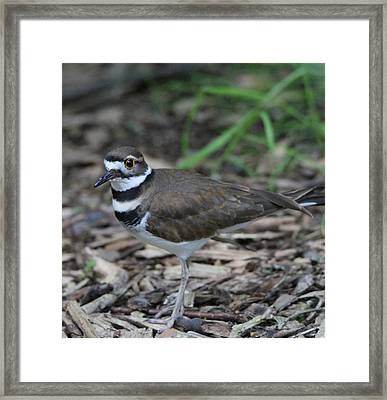 Killdeer Framed Print by Dan Sproul