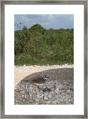 Killdeer Defending Nest Framed Print