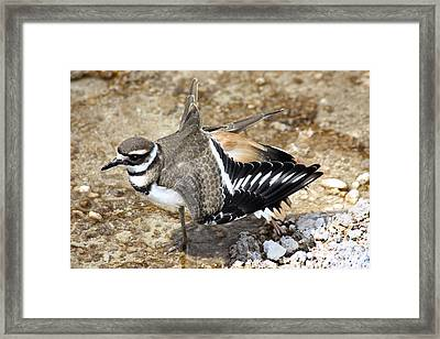 Killdeer Fakeout Framed Print