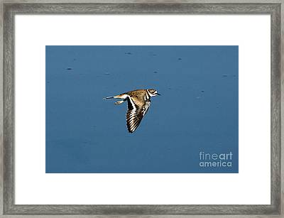 Killdeer In Flight Framed Print