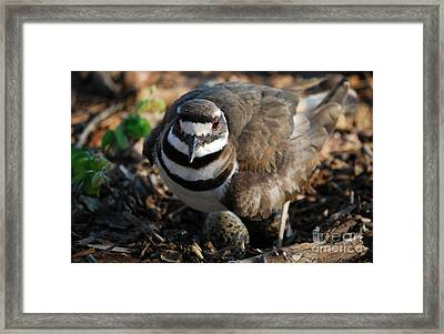 Killdeer Mom Framed Print by Skip Willits