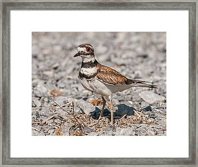 Killdeer Nesting Framed Print by Lara Ellis