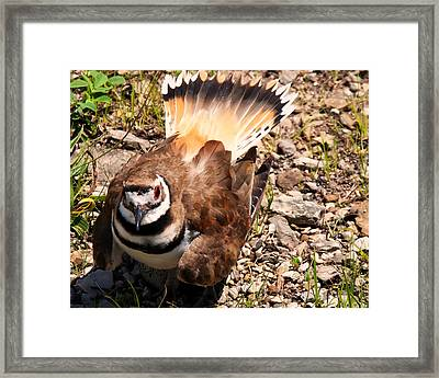 Killdeer On Its Nest Framed Print