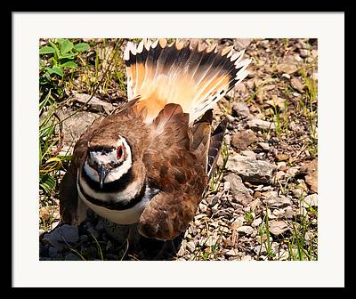 Killdeer Framed Prints