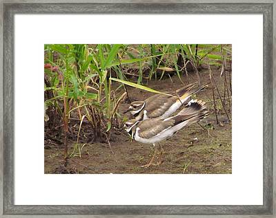 Framed Print featuring the photograph Killdeer Pair by I'ina Van Lawick