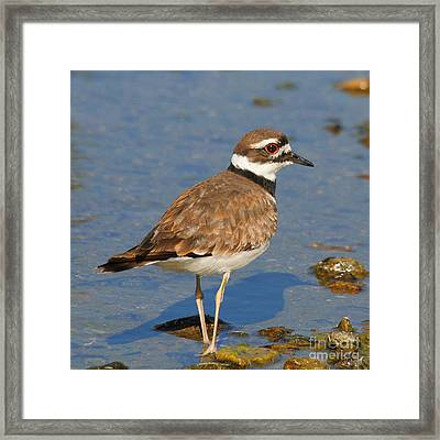 Framed Print featuring the photograph Killdeer Wading by Bob and Jan Shriner