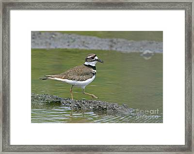 Killdeer Walking Framed Print
