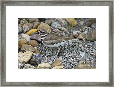 Killdeer With Eggs Framed Print
