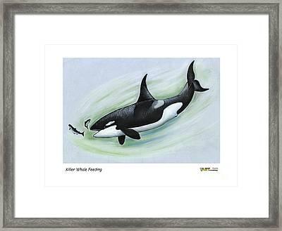Killer Whale Feeding Framed Print