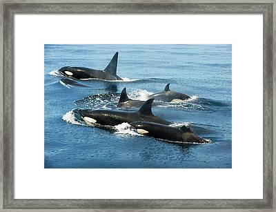 Killer Whale Group Framed Print