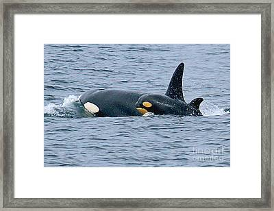 Framed Print featuring the photograph Killer Whale Mother And New Born Calf Orcas In Monterey Bay 2013 by California Views Mr Pat Hathaway Archives
