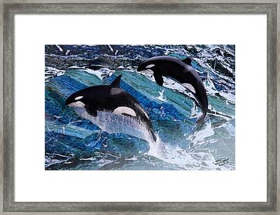 Wild Orca Whales Of Florida Framed Print by IM Spadecaller