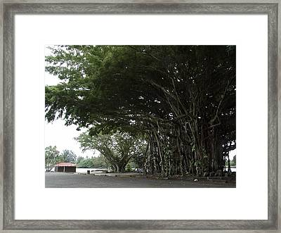 King Banyan Tree Of Hawaii Framed Print by Daniel Hagerman