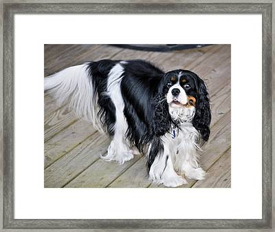 King Charles On The Boardwalk Framed Print by Kristina Deane