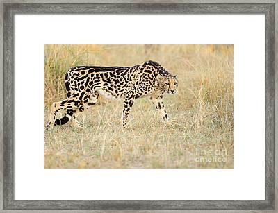 King Cheetah - South Africa Framed Print by Birdimages Photography