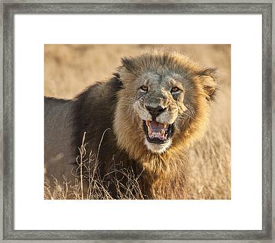 King Of Beasts Framed Print by Jennifer